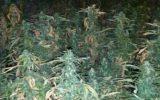1300 planten vernield, inval na anonieme tip