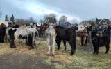 Bekeuring en reprimandes tijdens paardenmarkt
