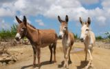 Kringloopwinkel helpt ezels op Bonaire