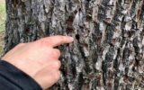 Bomen aan Mossendamsweg vergiftigd