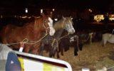 Paardenmarkt van start
