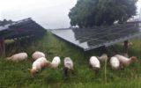 Schapen voorkomen schaduw op zonnepanelen