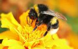 Groene loper roept op tot het tellen van bijen…