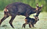 Oproep: Houdt honden aan de lijn in natuurgebieden om reekalfjes te beschermen