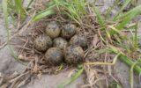 De Jong vindt nest maar liefst zeven kievitseieren…